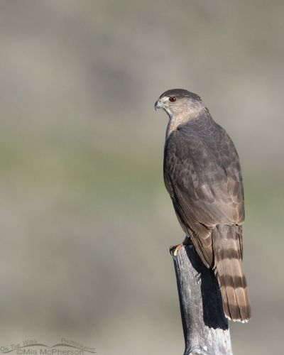 Cooper's Hawk perched on an old fence post, Little Emigration Canyon, Summit County, Utah