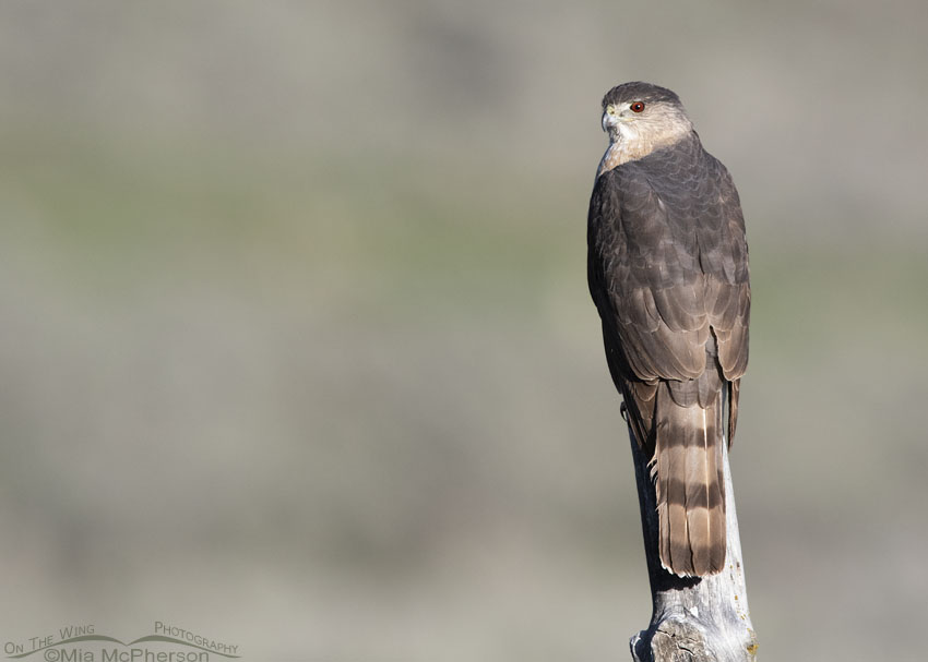Staring Cooper's Hawk, Little Emigration Canyon, Summit County, Utah