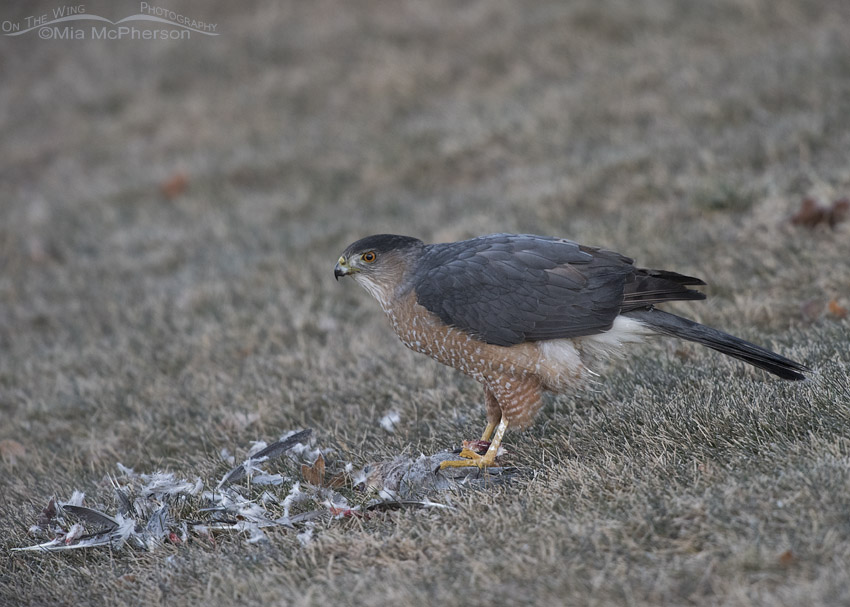Cooper's Hawk with prey in Salt Lake County
