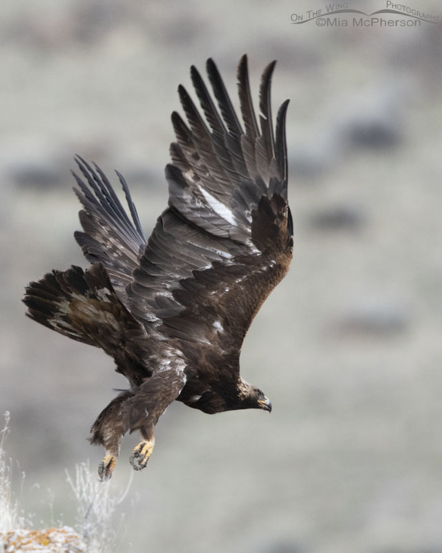 Golden Eagle lift off - poor angle