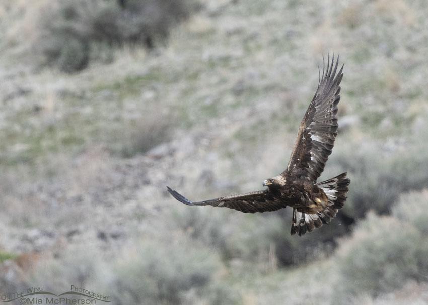 Low light Golden Eagle in flight - large crop