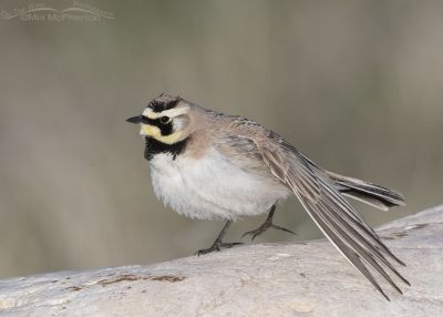 Male Horned Lark stretching his left wing