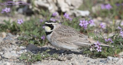 Horned Lark in Redstem Filaree