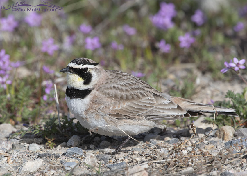 Wildflowers and a Horned Lark