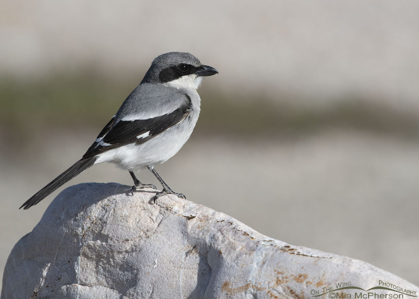 Adult Loggerhead Shrike perched on a boulder, Antelope Island State Park, Davis County, Utah