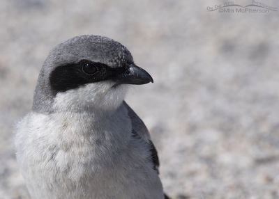 Presumed female Loggerhead Shrike close up, Antelope Island State Park, Davis County, Utah