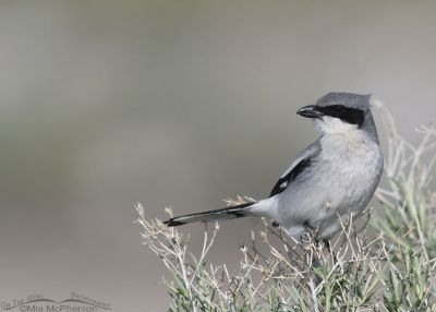 Loggerhead Shrike perched on Rabbitbrush in a breeze, Antelope Island State Park, Davis County, Utah