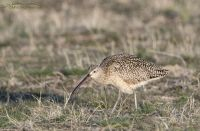 Male Long-billed Curlew foraging on Antelope Island