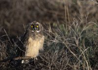 Short-eared Owl chick at sunrise