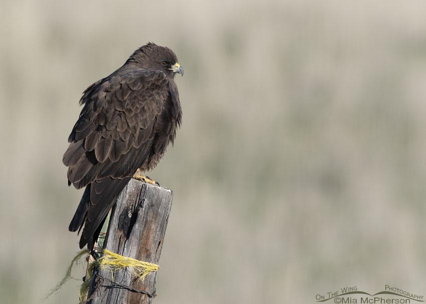 Very dark Swainson's Hawk
