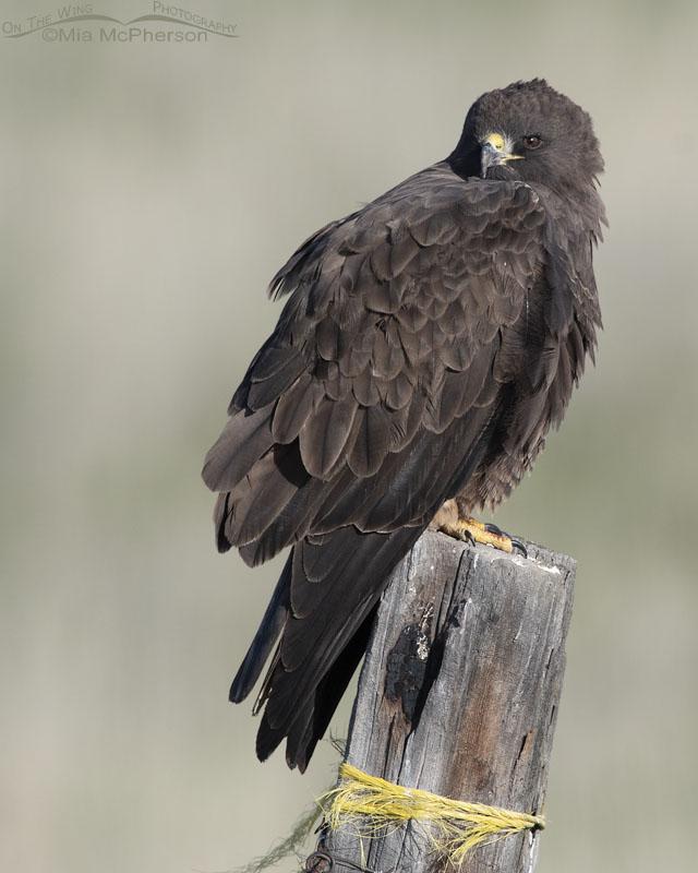 Dark morph Swainson's Hawk in northern Utah
