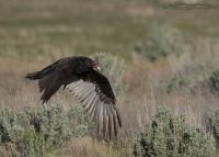 Adult Turkey Vulture in flight over sage, rabbitbrush and grasses, Box Elder County, Utah