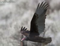 Turkey Vulture in flight close up