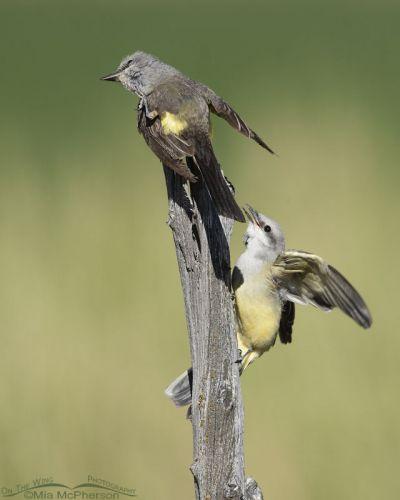 Juvenile Western Kingbird begging an adult for food, Box Elder County, Utah