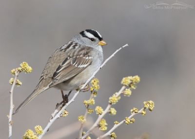 White-crowned Sparrow perched on a budding tree, Box Elder County, Utah
