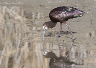 One really white faced White-faced Ibis, Bear River Migratory Bird Refuge, Box Elder County, Utah