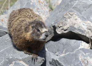 Female Yellow-belied Marmot keeping an eye on her pups