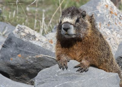 Frazzled looking female Yellow-bellied Marmot watching over her pups