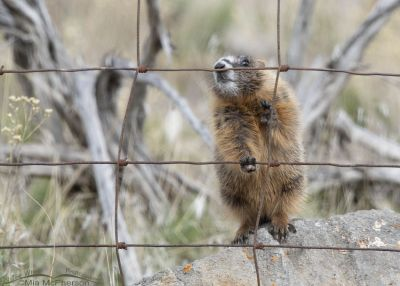 Yellow-bellied Marmot pup sniffing a fence