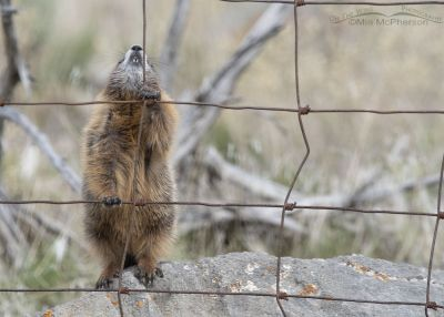Yellow-bellied Marmot pup looking up at the top of a fence