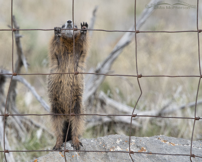 Yellow-bellied Marmot reaching up higher on the fence
