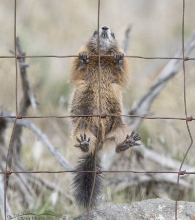 Yellow-bellied Marmot pup climbing a fence