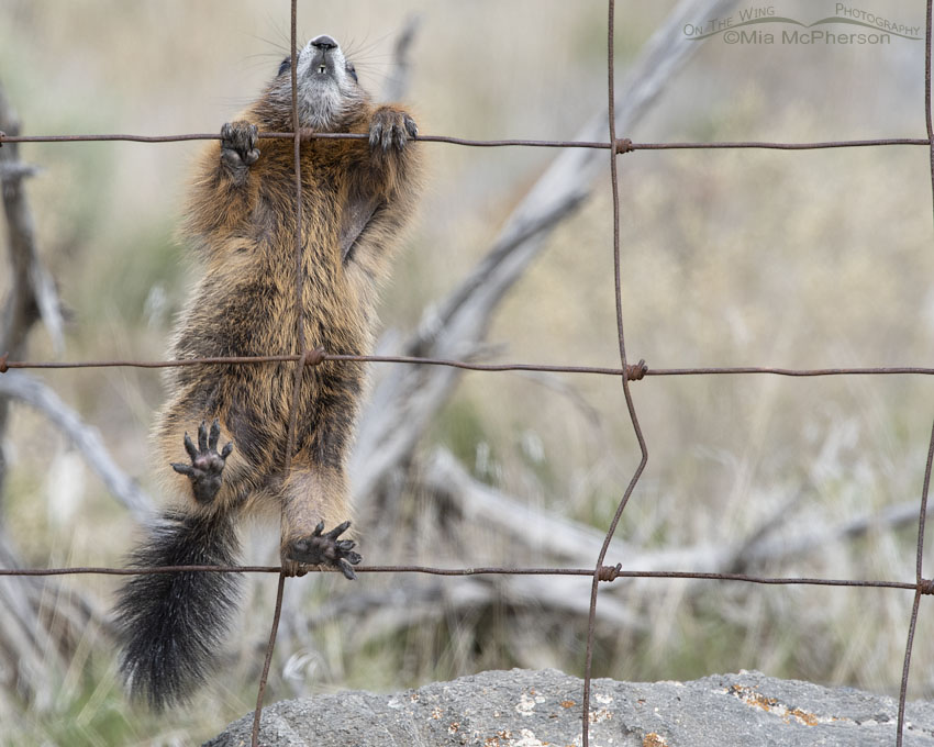 Yellow-bellied Marmot pup grasping a fence