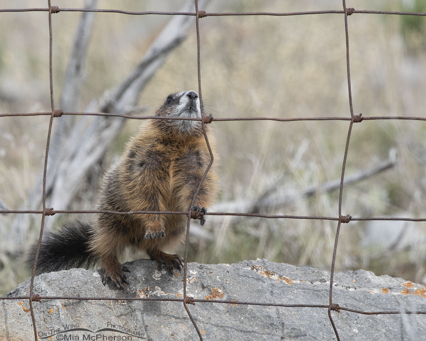 Yellow-bellied Marmot pup attempting to climb the fence again