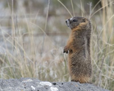 Alert little Yellow-bellied Marmot pup on a rock