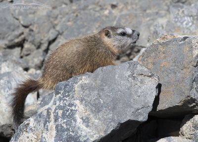 Pale faced Yellow-bellied Marmot pup