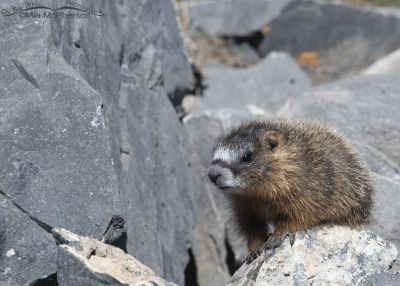 Yellow-bellied Marmot pup sitting on top of a boulder