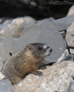 Yellow-bellied Marmot pup up close