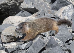 Yellow-bellied Marmot pup running across the rocks