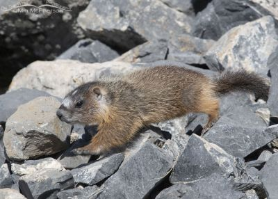 Yellow-bellied Marmot pup running across the rocks