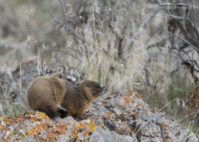 Cute Yellow-bellied Marmot pups on a lichen-covered rock