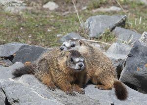 Cuddling Yellow-bellied Marmot pups