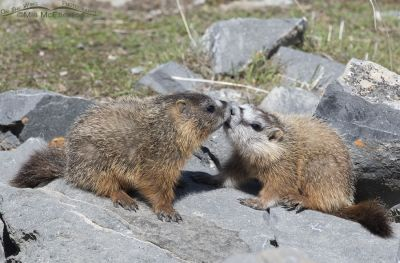Sibling Yellow-bellied Marmot pups