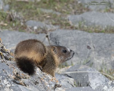 Yellow-bellied Marmot pup on an April morning