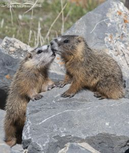Yellow-bellied Marmot pups rubbing noses