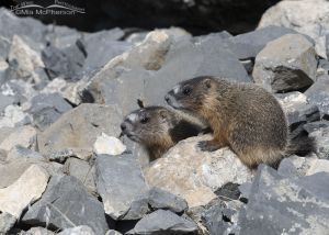 Two Yellow-bellied Marmot pups on the rocks