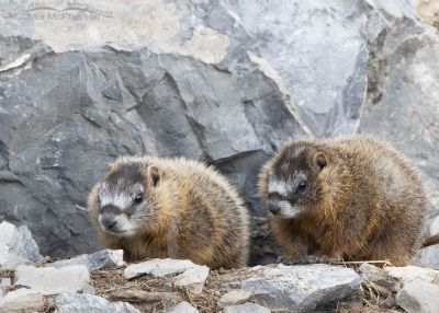 Yellow-bellied Marmot pup siblings near their burrow