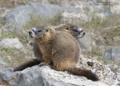 Yellow-bellied Marmot pups side by side