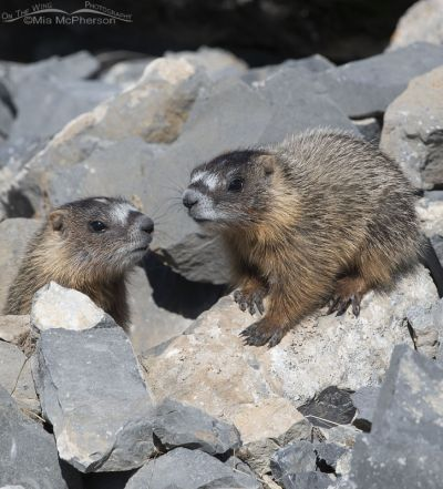 Yellow-bellied Marmot siblings
