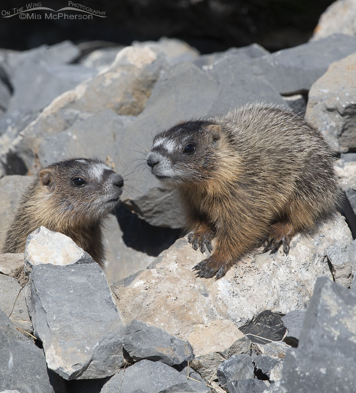 Yellow-bellied Marmot siblings