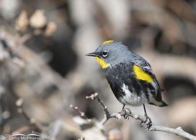 Male Yellow-rumped Warbler in breeding plumage, Box Elder County, Utah