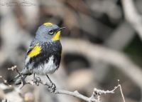 Yellow-rumped Warbler (Audubon's) male frontal view, Box Elder County, Utah