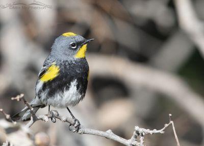 Yellow-rumped Warbler (Audubon's) male frontal view, Box Elder County, Utah