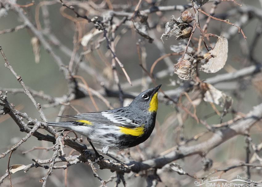 Foraging male Yellow-rumped Warbler in breeding plumage, Box Elder County, Utah
