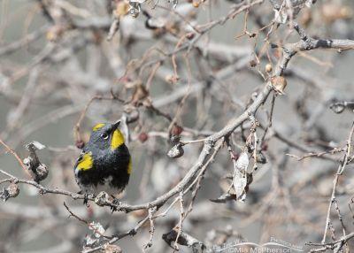 Foraging male Yellow-rumped Warbler, Box Elder County, Utah