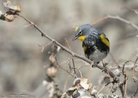 Spring Yellow-rumped Warbler in breeding plumage, Box Elder County, Utah